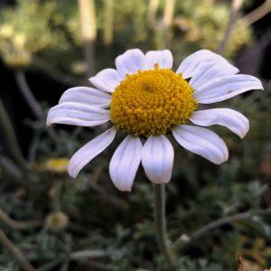 Marguerite des Alpes