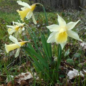 Narcisse sauvage